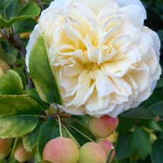 Cream Rose & Crab Apples