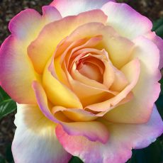 Cream, Yellow & Pink Rose