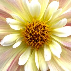 Cream & Yellow Dahlia