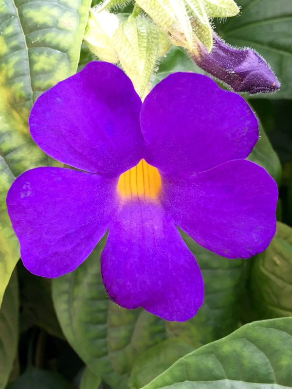 Purple & Yellow Thunbergia