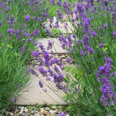 A Pathway Of Lavender