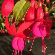 Red & Pink Fuchsia