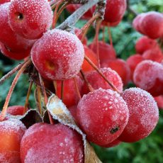 Frosty Crab Apples