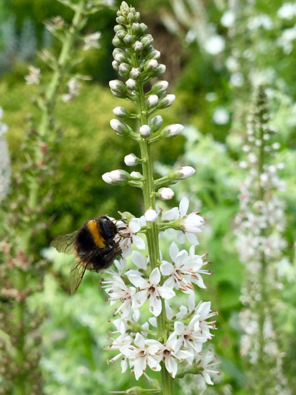 White Lysimachia Clethroides & Bee