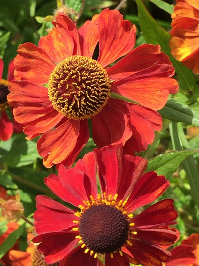 Orange Helenium